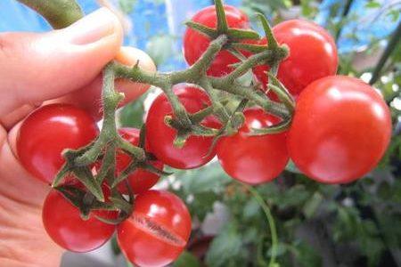 千果というトマトの味や形の特徴は?